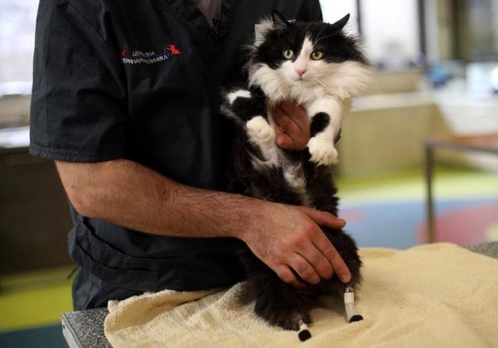 Кот по кличке Пух, который после несчастного случая научился ходить на протезах