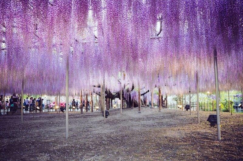 Это не салют, а удивительное растение в Японии