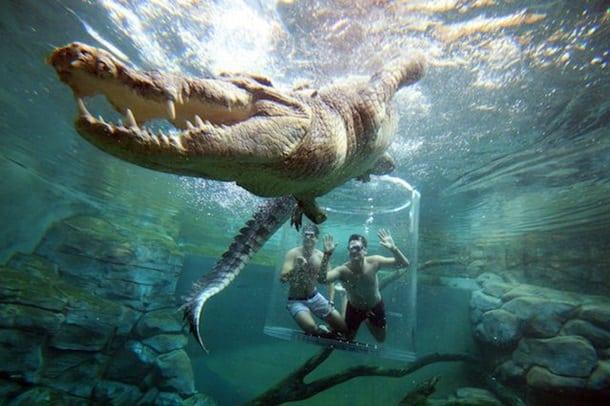 Новое развлечение в Австралии — заплыв с пятиметровым крокодилом!