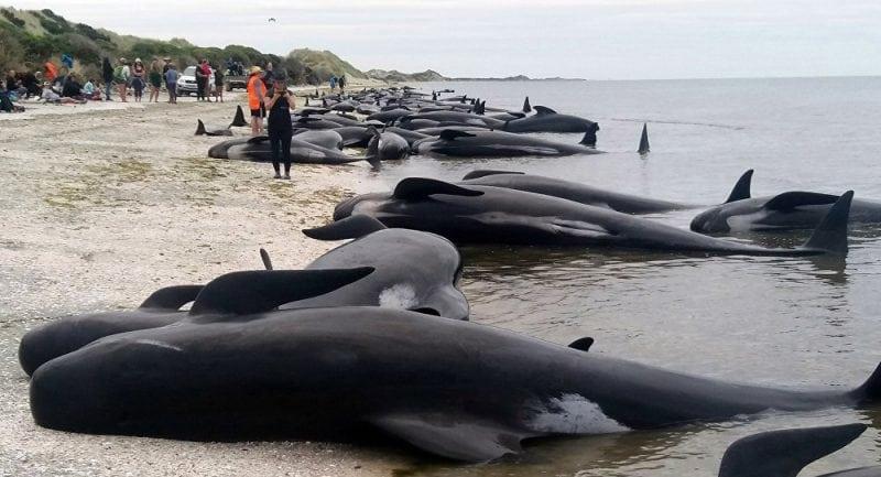 В Новой Зеландии спасли 200 дельфинов, выбросившихся на берег