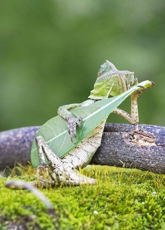 Ящерица, которая играет на гитаре