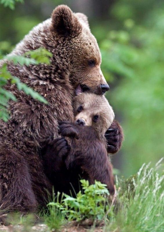 обнимающиеся медвежата картинки эремуруса безлистный