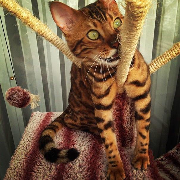 Бенгальский кот изумительной красоты! Только взгляните на его окрас!
