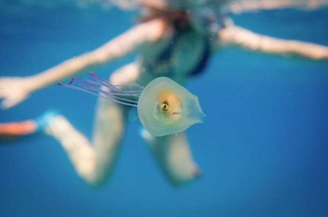 Эта рыба заплыла в медузу! Редчайшие кадры!
