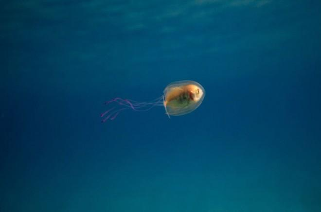 Эта рыба заплыла в медузу! Редчайшие кадры