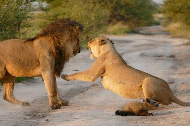 Хищная львица спасла раненого лисенка! Это не поддается никакой логике