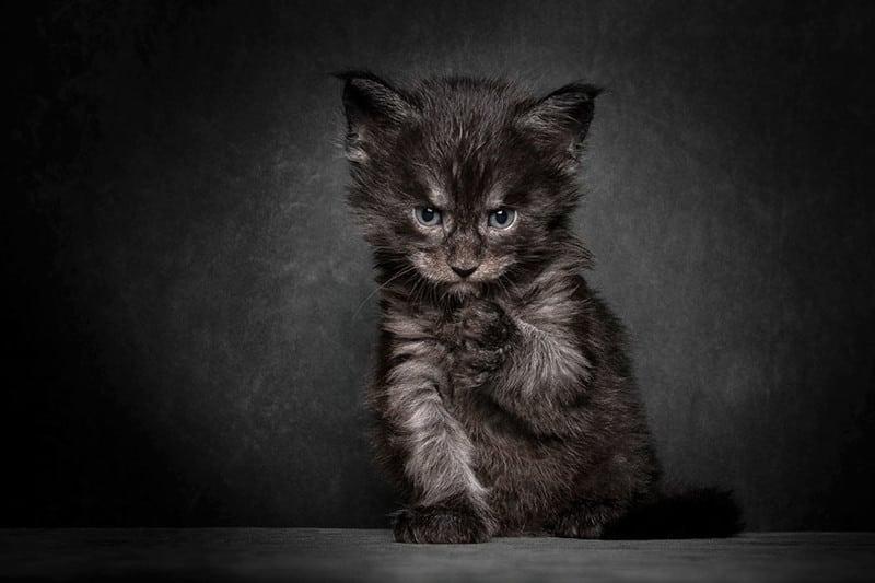 Красавцы Мейн-куны  — божественной красоты коты!