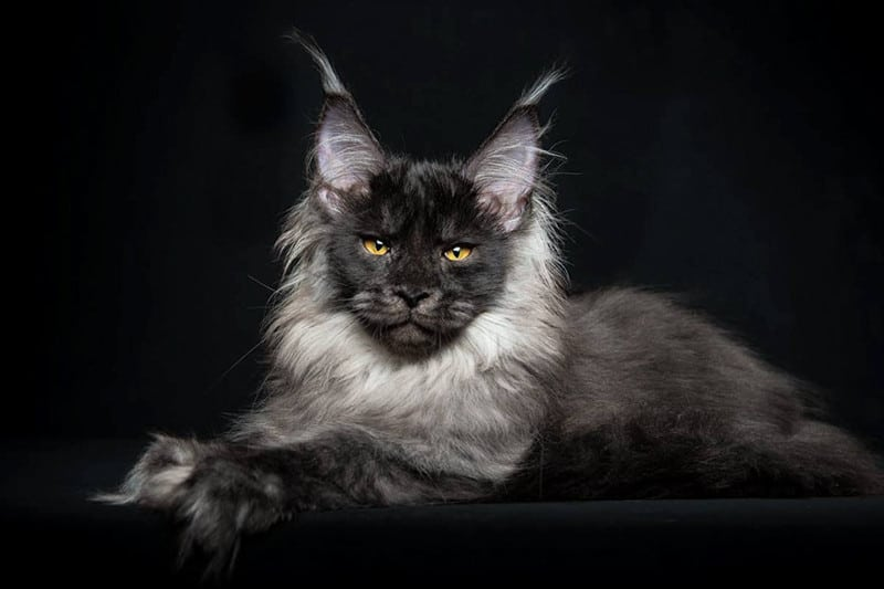 Красавцы Мейн-куны - божественной красоты коты!