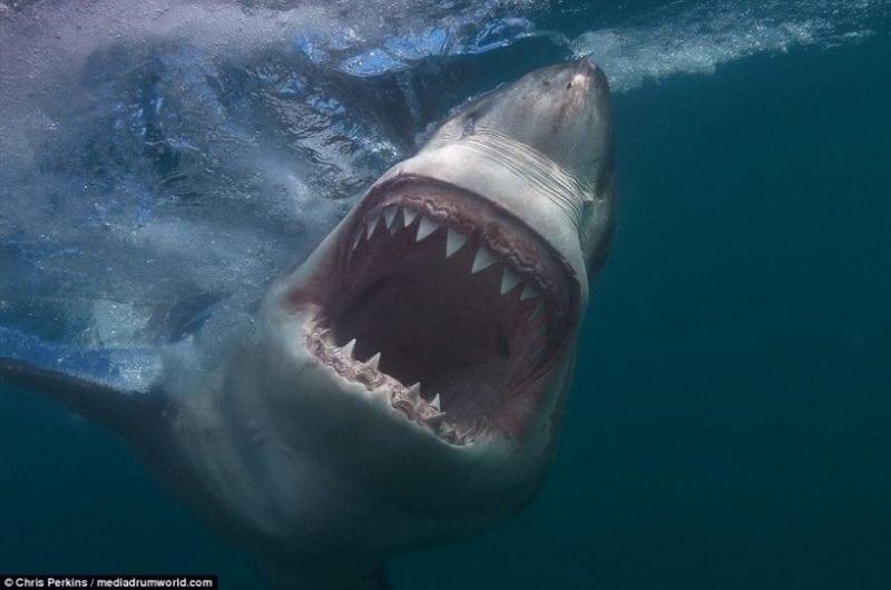 Одновременно восхитительные и ужасающие снимки белых акул! Кровь стынет!