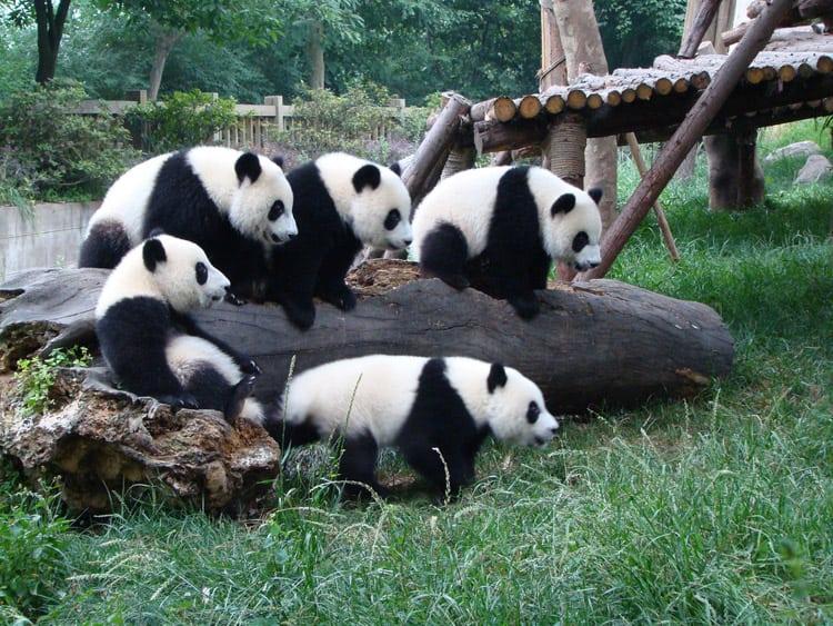 Панды проказницы мешают работнице зоопарка. Ну очень трогательно!