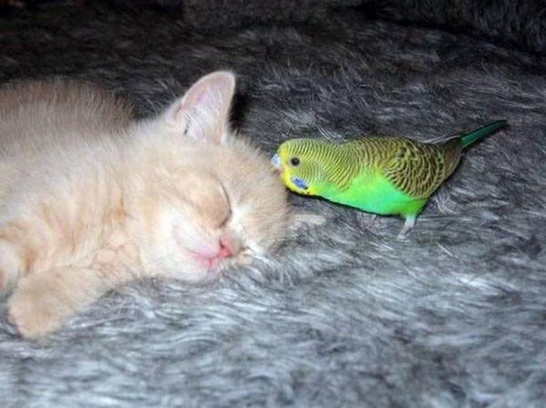 Робкий попугай изучает кошку. Умилительное зрелище!