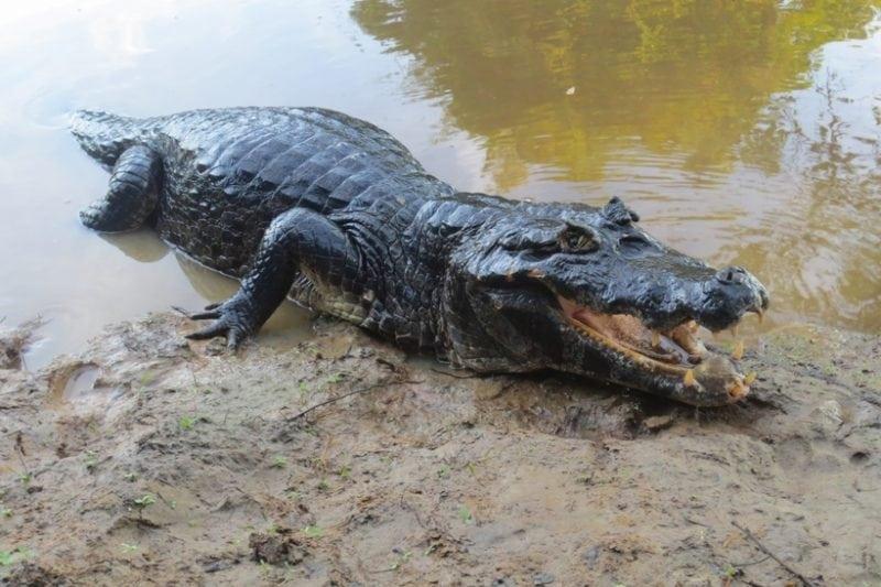 Самые опасные жители Амазонки! Крокодилы вообще цветочки по сравнению с ними