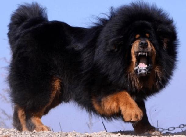 Самый дорогой в мире пес - Тибетский Мастиф. Только взгляните на эту пушистую громадину!