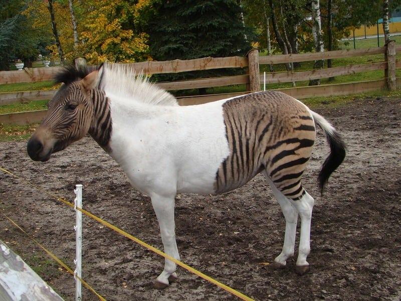 12 реальных гибридов, которые получились в результате скрещивания разных животных