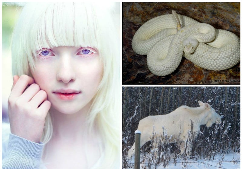 Белые как снег и чистые как ангелы: альбиносы среди людей и животных