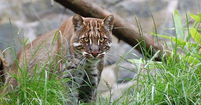 Десятка потрясающих диких кошек о которых вы наверняка не слышали