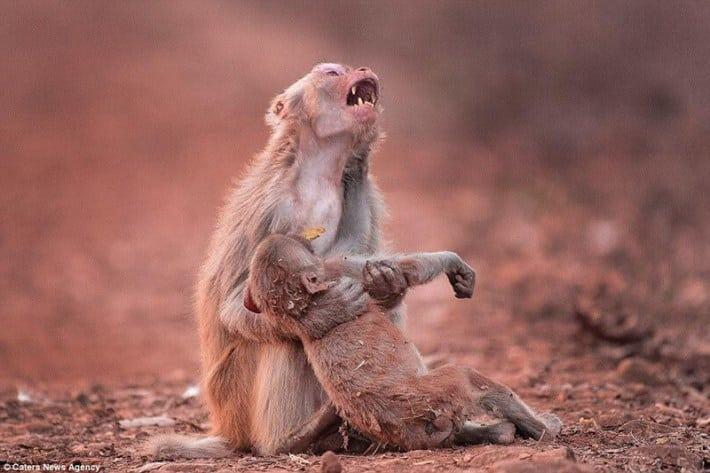 Фотограф сделал удивительный кадр: обезьяна плачет над телом своего малыша