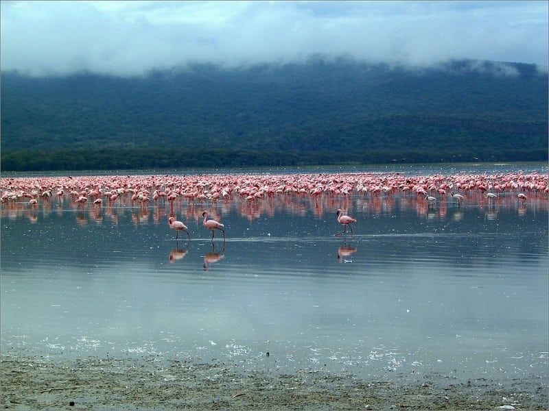Любимое место розовых фламинго в Кении
