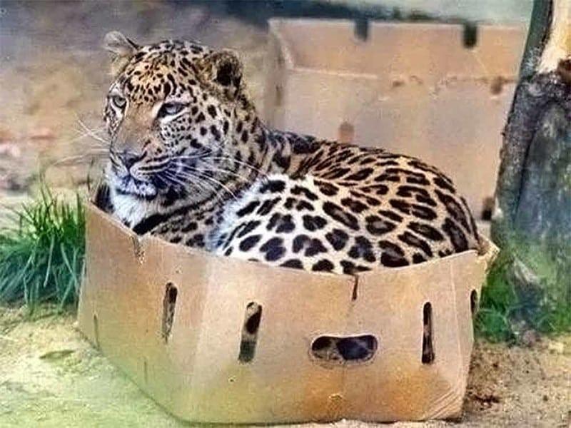 Не важно насколько большая кошка, они все любят ласку!