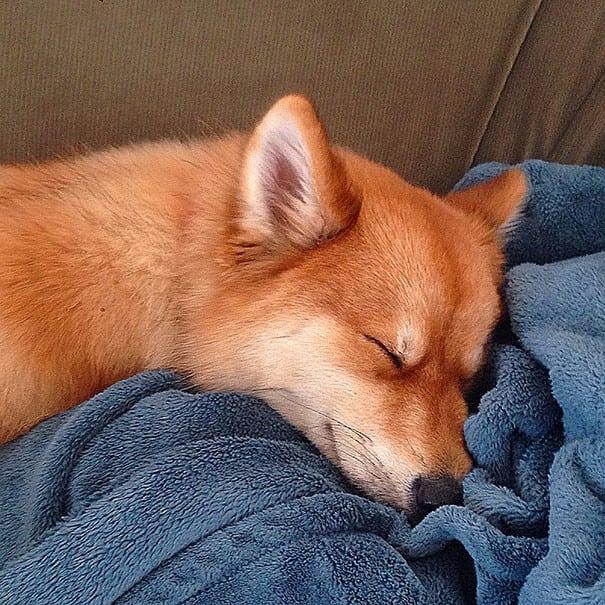Самая милая собака в мире - помски. Результат смеси хаски и шпица