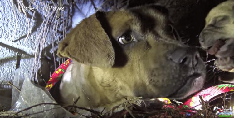 Самая трогательная спасательная операция собаки и её щенят!