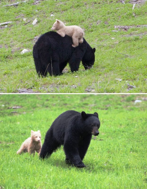Самые трогательные фотографии: медвежата и их мамы