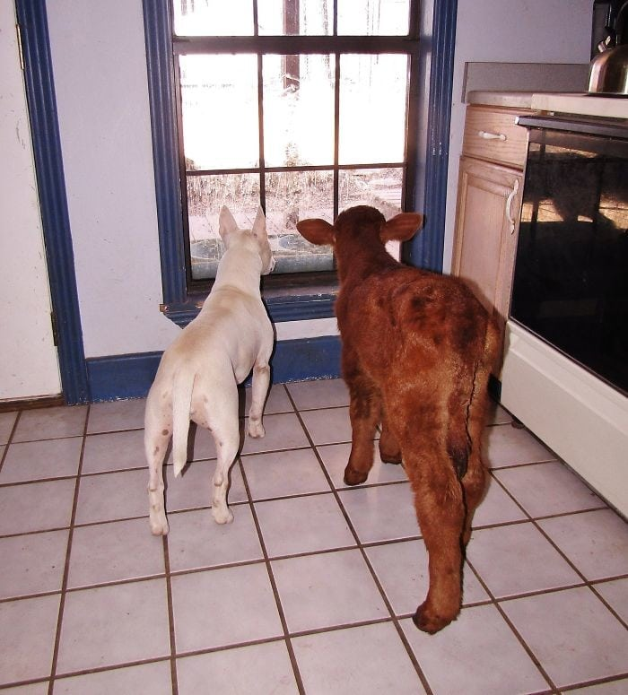 Знакомьтесь, это маленький теленок, который считает себя настоящей собакой!