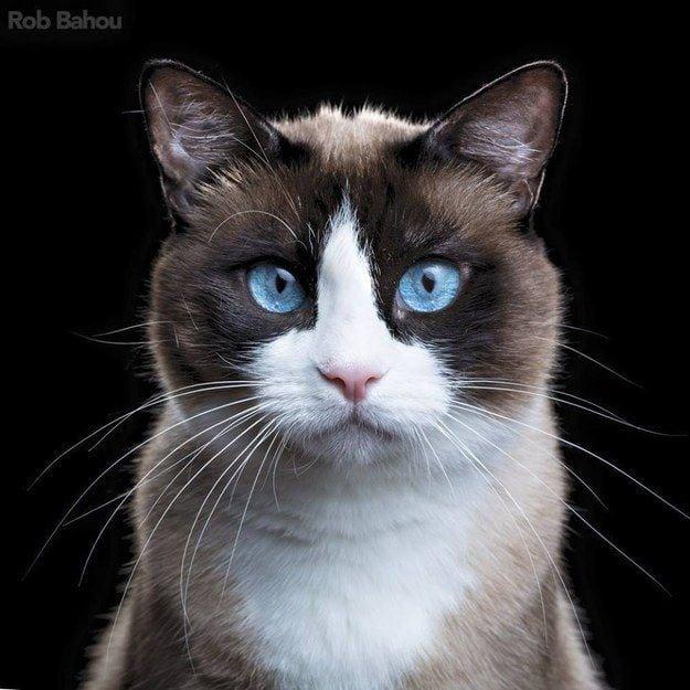 17 потрясающих пород кошек, о которых мало кто слышал