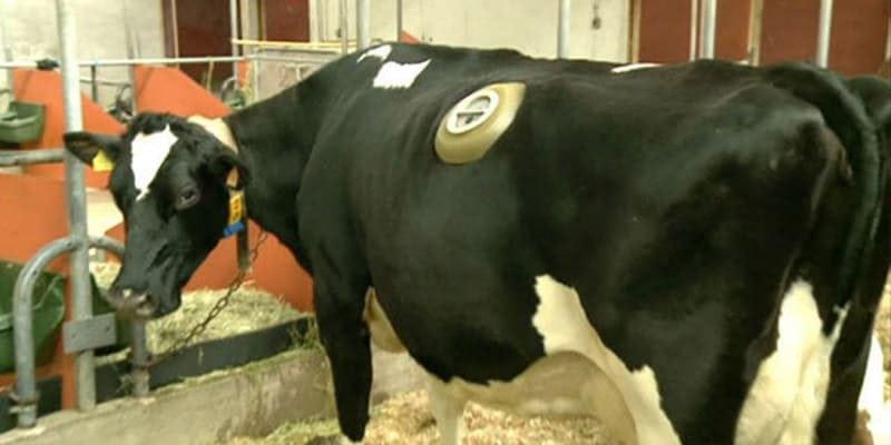 Зачем этим коровам делают отверстия в боку?