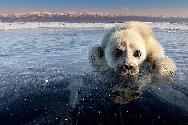 маленький тюлень на фото