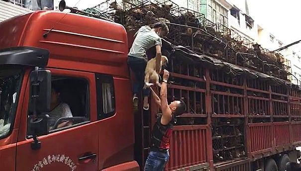 Этих собак везли на бойню, то что произошло дальше вызывает уважение...