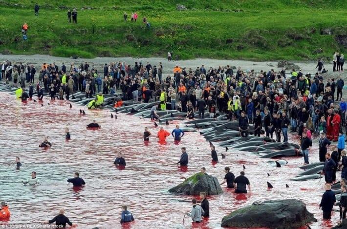 в Дании убивают дельфинов