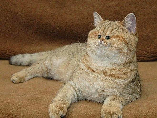 Пушистые милахи с маленькой мордочкой: 16 забавных фотографий котов