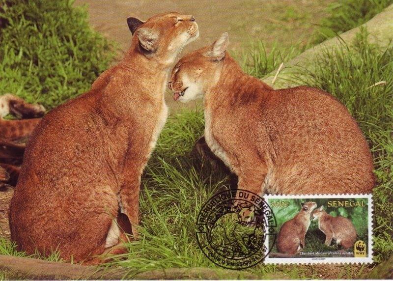 26 прекрасных диких пород кошек, которых с каждым годом становится все меньше