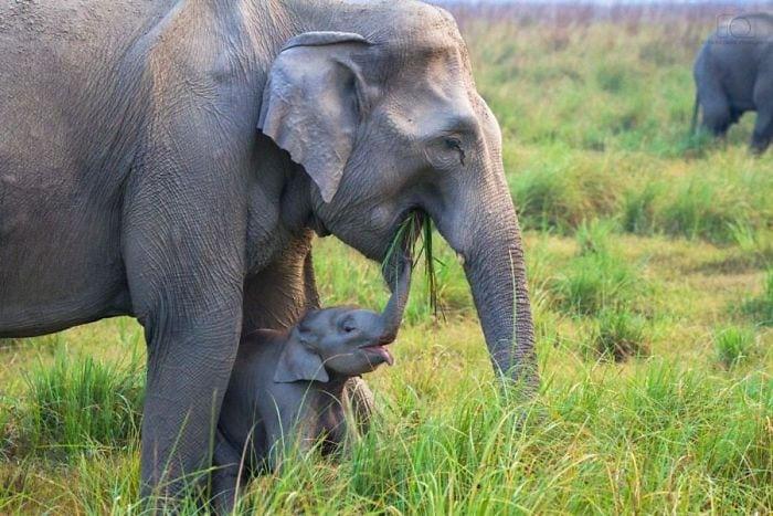 30 фотографий самых милых новорожденных слонят