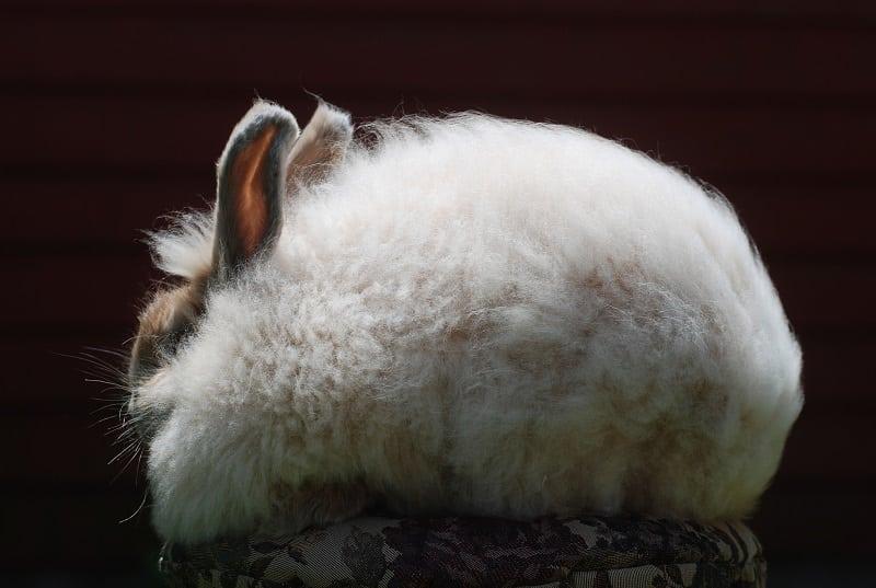 34 фотографии самого милого и пушистого кролика в мире