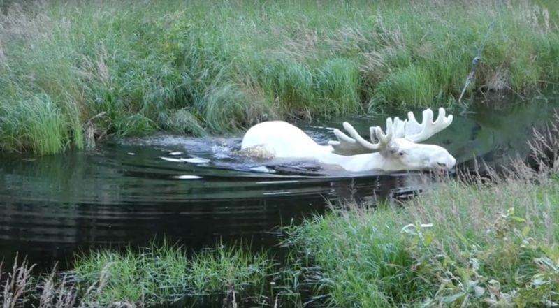Биолог из Швеции 3 года искал редчайшего белого лося и ему это удалось...Только посмотрите на эти кадры!