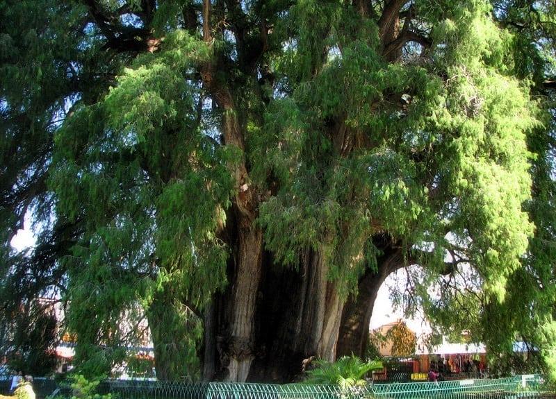 Дерево Туле включено в список Всемирного наследия ЮНЕСКО. И вот почему...