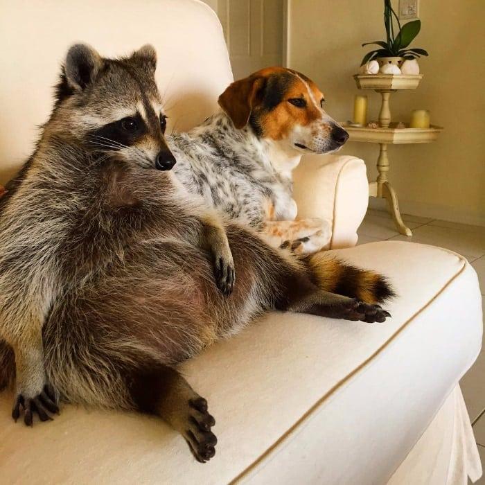 Енот, который твердо убежден что он собака. Милейшее зрелище!