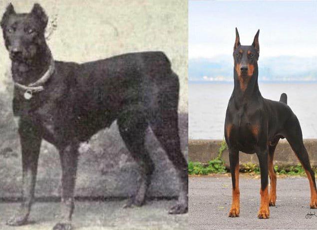 эволюция собак