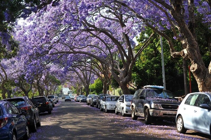 История происхождения фиалкового дерева - дерево Жакаранда