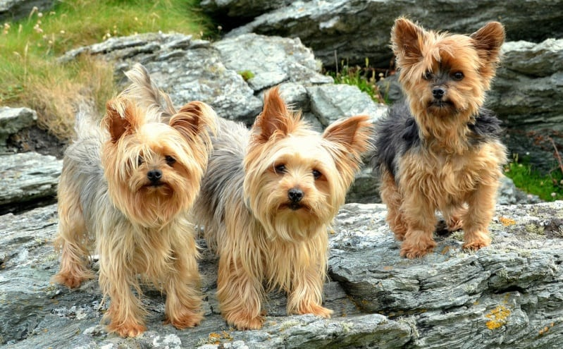 Йоркширский терьер - самая милая и миниатюрная порода собачек