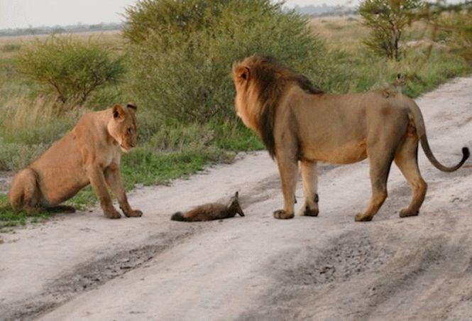 Львы подкрались к раненом лисенку. Но то что случилось дальше, никто не ожидал...