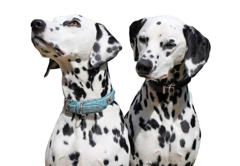 Любимые с детства далматинцы: история возникновения необычной породы собак
