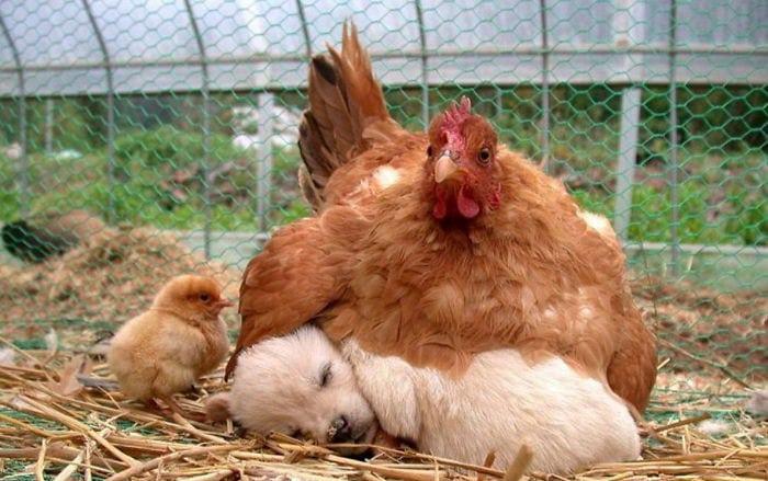Материнский инстинкт присущ не только людям, но и...курицам!