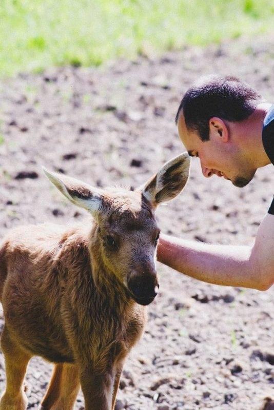 Мужчина спас лосиху от голода и верной смерти, а теперь она благодарит его каждый день!