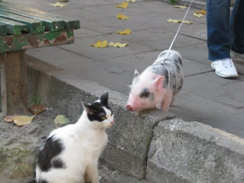 Новый тренд сезона: мини-пиг или маленькая свинка