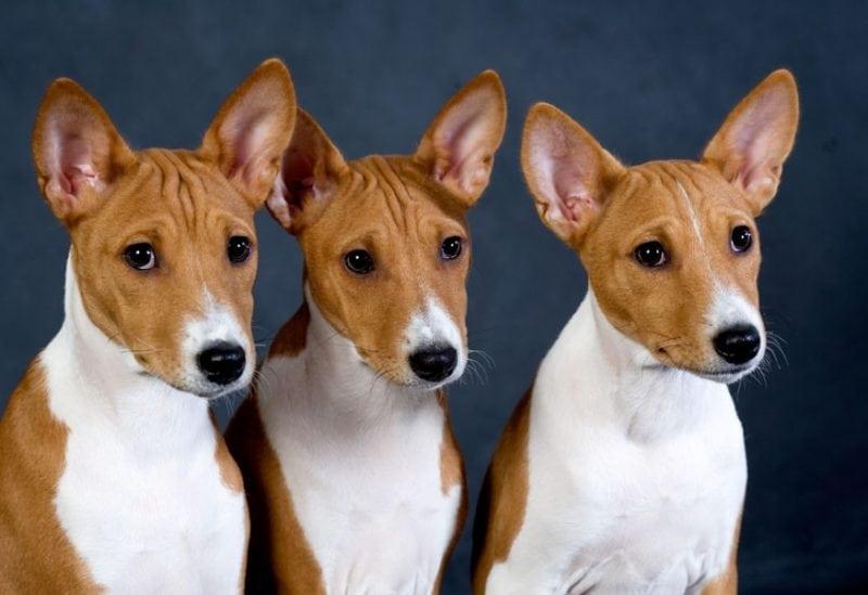 порода собак которые не умеют лаять фото