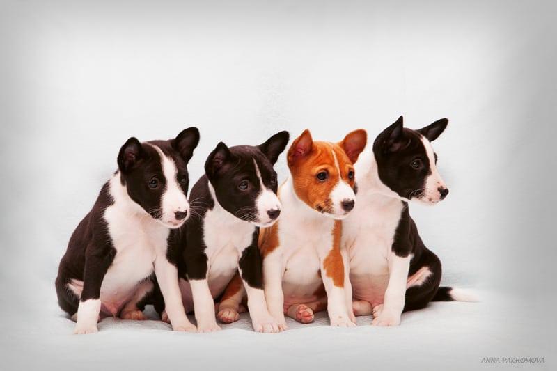 Порода басенджи самая древняя и необычная порода собак, которые не лают