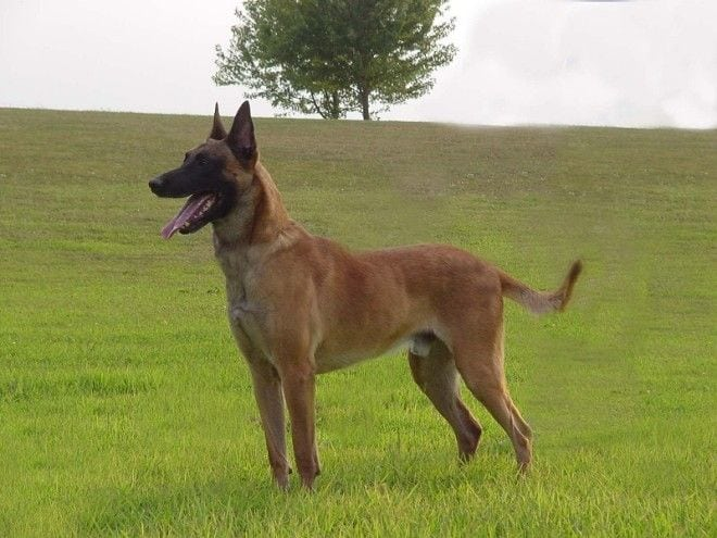 Рейтинг собак с самыми высокими и низкими интеллектуальными способностями